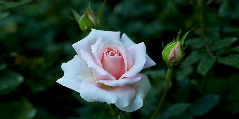 Rose og rosenknopper - af Salehi Hassan via flickr