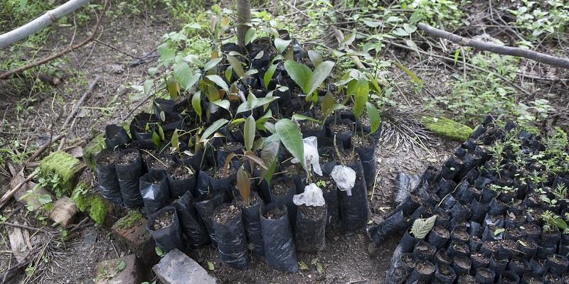 Små træer, der skal plantes ud - Lwamaggwa Agribusiness Network Project (LAP)